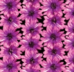KANVAS STUDIO - Blooming Beauty - Blooming Flowers - Black Violet
