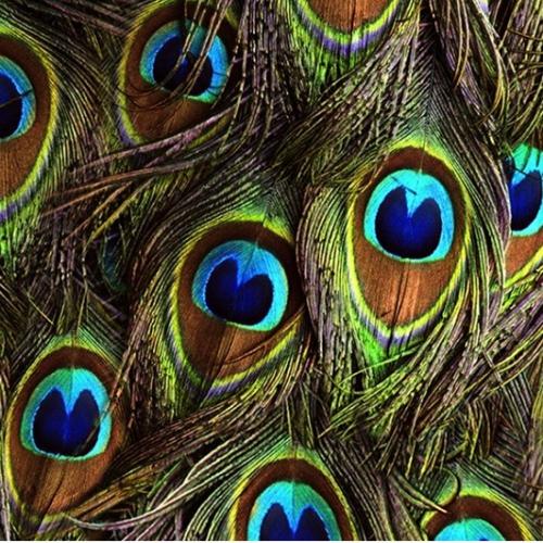 HOFFMAN - Proud as a Peacock - Spectrum Print