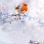 HOFFMAN - Call of the Wild - Red Robin With Snow