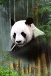 Clearance - HOFFMAN - Call Of The Wild - Panda - PANEL - PL392-