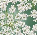 HOFFMAN - Winter Blooms - Eucalyptus - Silver