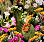 TIMELESS TREASURES - Packed Cacti Flowers - Multi